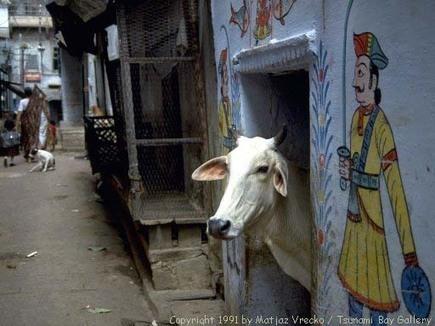 Heilige dieren in India: Tussen schijn en heiligheid | India | Scoop.it