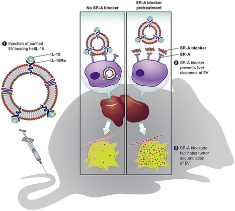 Efficient production and enhanced tumor delivery of engineered extracellular vesicles | Exosome RNA | Immunology and Biotherapies | Scoop.it
