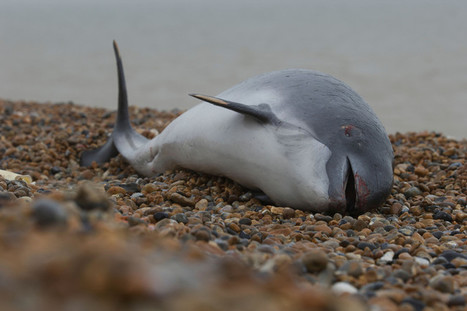 UK's harbour porpoise strandings linked to rising starvation | Biodiversity protection | Scoop.it