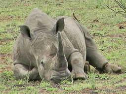 Rinoceronte blanco, especie en peligro de extinción | Ecologismo | Infraestructura Sostenible | Scoop.it