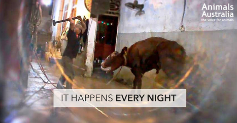 Stop animals being sledgehammered in live export! | Nature Animals humankind | Scoop.it