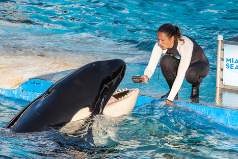 Free Lolita! The remarkable story of a remarkable whale held captive for four decades | My Senior Project | Scoop.it