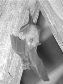 Site abbatial de Saint-Maurice: L'hésitante présence des rhinolophes et le début des naissances 2014. | L'environnement en Bretagne | Scoop.it
