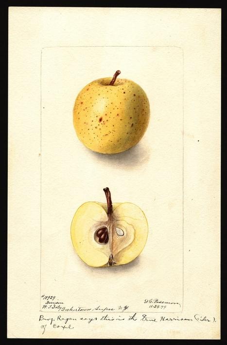 What did old apple varieties look like? Watercolors from the USDA library.   Humanidades digitales   Scoop.it