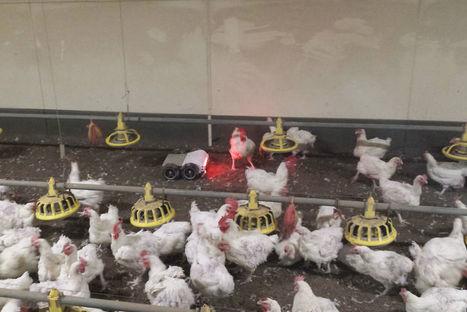 TiOne le robot qui incite les poules à pondre dans leur nid   Electronique   Scoop.it