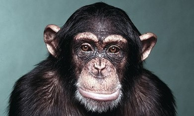 Will chimps soon have human rights? | animals and prosocial capacities | Scoop.it
