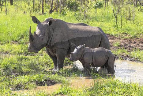 Road Trip! Six White Rhinos Evacuated to Avoid Certain Death - TakePart | White Rhino | Scoop.it