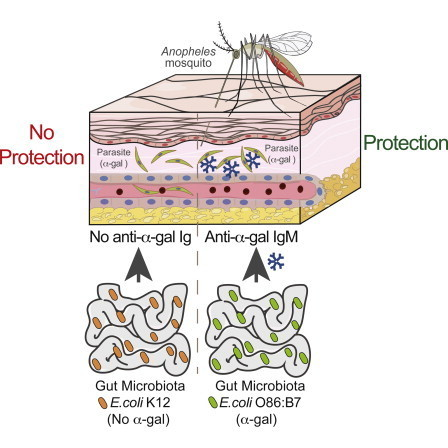 Gut Microbiota Elicits a Protective Immune Response against Malaria Transmission: Cell | Microbiome | Scoop.it