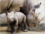 Western black rhino officially extinct | Biology | Scoop.it