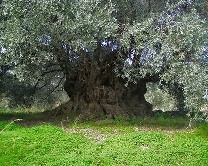 A Quick History on Olives | Olive Facts | Scoop.it