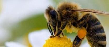 Les Etats Unis se préocupent enfin des abeilles | Chronique d'un pays où il ne se passe rien... ou presque ! | Scoop.it