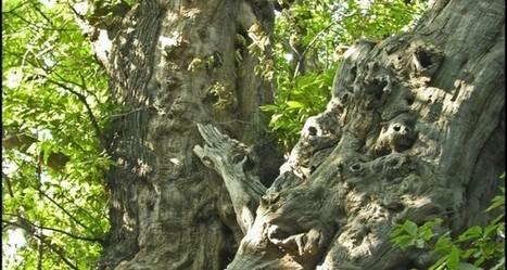 Patriarchi del Sud | Il plurimillenario Castagno dei Cento Cavalli | Fame di Sud | Gli alberi nei giardini | Scoop.it