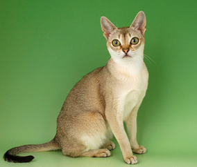 5 Reasons a Singapura Might Be the Right Cat Breed for You | Love Of Cats | Scoop.it