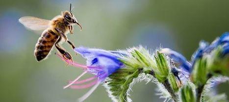 Les abeilles savent compter et reconnaître un visage humain | Chronique d'un pays où il ne se passe rien... ou presque ! | Scoop.it