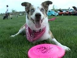 3-legged dog wows the crowd at Frisbee competition - Video on NBCNews.com | Dogs | Scoop.it