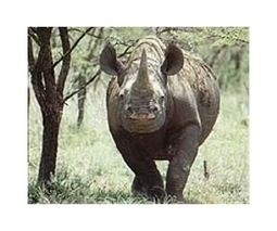 Namibia defends black rhino hunt | Sustain Our Earth | Scoop.it