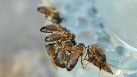 Le processus d'empoisonnement des abeilles provoqué par les … - RFI | Abeilles, intoxications et informations | Scoop.it