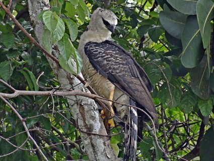 Rare Eagle Finds Home in Cuyabeno Wildlife Reserve | Rainforest EXPLORER:  News & Notes | Scoop.it