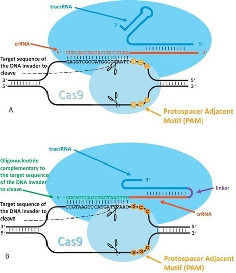 The CRISPR-Cas9 technology: Closer to the ultimate toolkit for targeted genome editing | plant cell genetics | Scoop.it