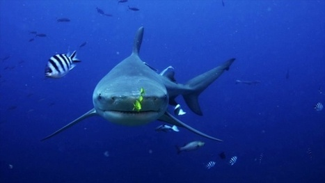 Vidéo Plongée Full HD | Les requins bouledogue des Fidji ! | Plongeurs.TV | Scoop.it