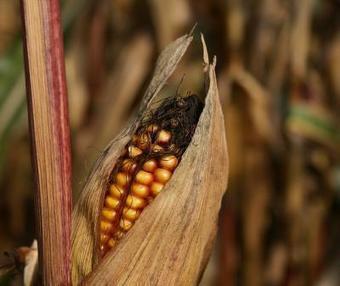 ESPAGNE - Maïs OGM ou conventionnels : les mêmes rendements | Questions de développement ... | Scoop.it