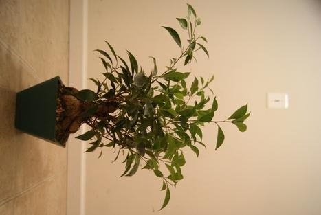 Great Deal On A Ficus (Or Is It?) - Internet Bonsai Club | Bonsai | Scoop.it
