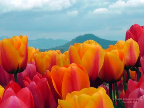 Skagit Valley Tulip Festival | travelogue | Scoop.it