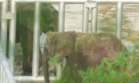 Urgent Petition:  23 Baby Elephants Will Die Unless The Chinese Government  Steps In | Our Evolving Earth | Scoop.it