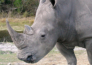 Asia Sentinel - Indian Rhinos on the Increase | Green Calling | Scoop.it