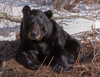Black bear shooting highlights poaching problem in Michigan | Wildlife Trafficking: Who Does it? Allows it? | Scoop.it