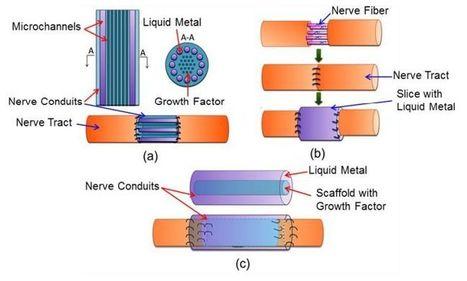 Beijing researchers explore liquid metal to reconnect nerves | leapmind | Scoop.it