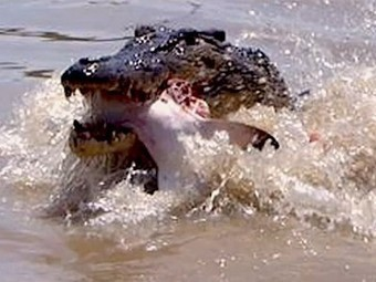 Giant Crocodile Devours a Shark as Tourists Look On | All about water, the oceans, environmental issues | Scoop.it