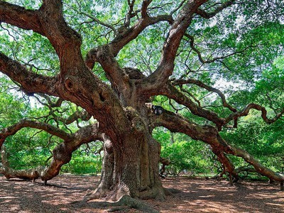 Photo of the Day: The Ancient Angel Oak Tree : TreeHugger | Images by iPhone | Scoop.it