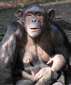 Le chimpanzé altruiste, comme l'homme ?   Altruisme, commerce équitable   Scoop.it