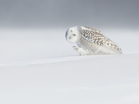 chouette #harfang, #Quebec -- National Geographic Photo of the Day | Hurtigruten Arctique Antarctique | Scoop.it