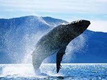 News Press - Reykjavík, en Islande, vote en faveur de l'interdiction de la chasse à la baleine dans la baie de Faxaflói - IFAW - Fonds international pour la santé des animaux   Ces animaux sauvages ou domestiques maltraités par l'homme   Scoop.it