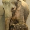 Seattle Times Reports Elephants Dying Out in Zoos—Especially Babies - Willamette Week | Rhino poaching | Scoop.it