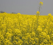 Syngenta challenges EU neonicotinoid ban - FarmersWeekly | Agriculture | Scoop.it