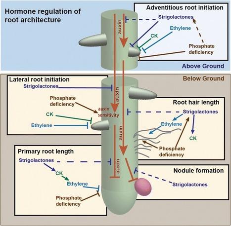 Strigolactones fine-tune the root system - Springer | Plant hormones | Scoop.it