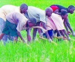 Office du Niger : objectif : plus 771 000 tonnes de riz paddy | Questions de développement ... | Scoop.it