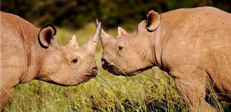 Rhinos – the mindless slaughter continues. | Worldwide Experience | AnimalConservation | Scoop.it