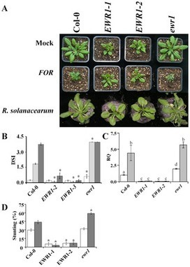 PLOS ONE (2014): The Brassicaceae-Specific EWR1 Gene Provides Resistance to Vascular Wilt Pathogens | Spoelder | Scoop.it