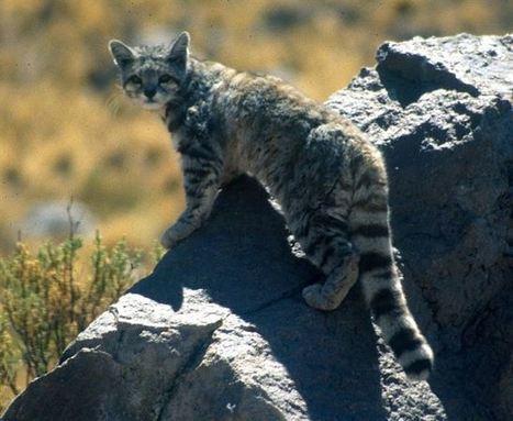 Animales en peligro de extinción: el gato andino | Agua | Scoop.it