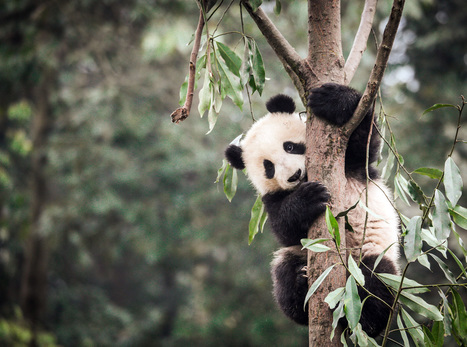 Protecting pandas shields other species in China | Conservation Success | Scoop.it