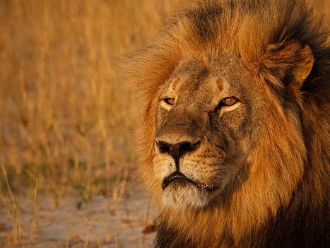One Year Later, Cecil the Lion's Legacy Lives on Through His Cubs | Trophy Hunting: It's Impact on Wildlife and People | Scoop.it