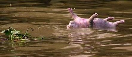 Des centaines de cochons morts dans les rivières en Chine | agro-media.fr | Actualité de l'Industrie Agroalimentaire | agro-media.fr | Scoop.it