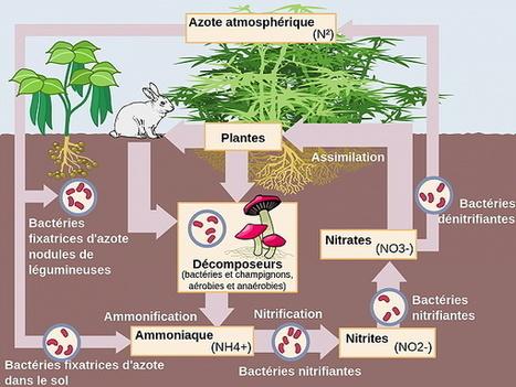 L'importance du cycle de l'azote en permaculture : PermacultureDesign | agriculture | Scoop.it
