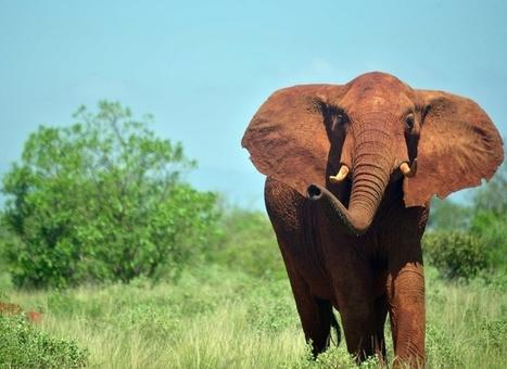 Afrique : les éléphants des savanes ont décliné de 30% entre 2007 et 2014 | The Blog's Revue by OlivierSC | Scoop.it