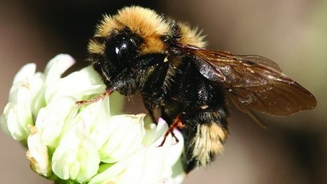 Bees suffer from pollution confusion, says new study | Epicurist: In Victus Veritas | Scoop.it
