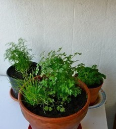 Réaliser un mini-jardin d'intérieur en cultivant des plantes aromatiques | potager d'intérieur | Scoop.it
